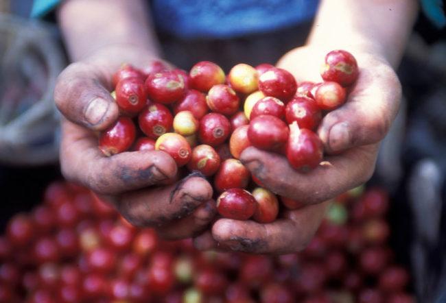 グアテマラコーヒーの実