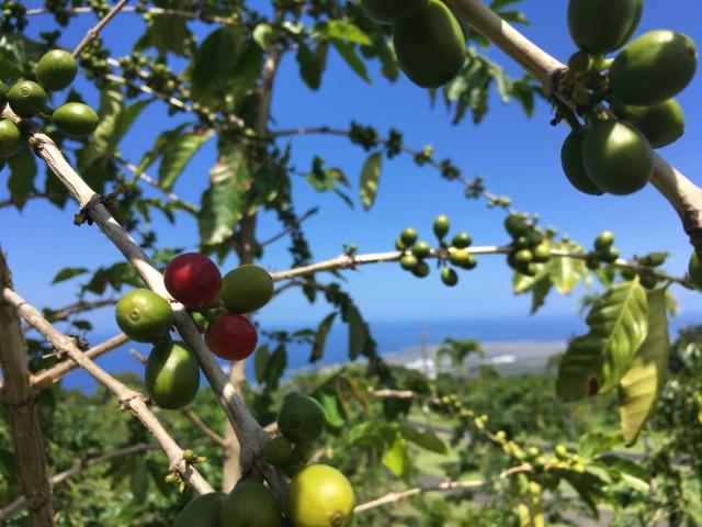 標高が高い所でのコーヒーの栽培